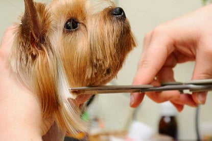 dog getting its hair clipped and groomed
