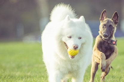 two dogs running with a ball